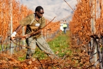 Regional Seasonal Employer scheme used by New Zealand vineyards